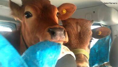 صورة فيديو طريف لمواطن تركي أخذ عجلتين ( صغير البقر) إلى الهضبة في المقعد الخلفي لسيارته