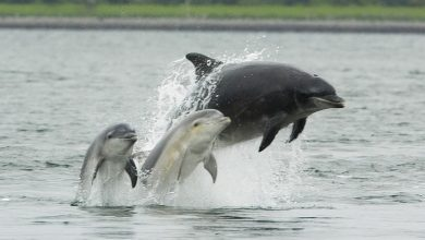 """صورة حقيقة وليس فيلم.. مشهد نادر لأكثر من 100 دلفين يهـ.ـربون من حوت البحر الضخم """"فيديو"""""""